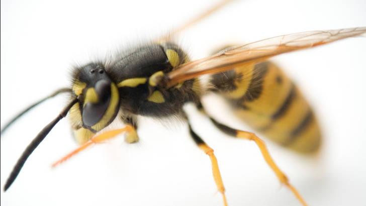 Guérir les allergies aux piqures de guepe