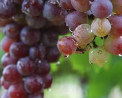 Le resvératrol, l'antioxydant du vin