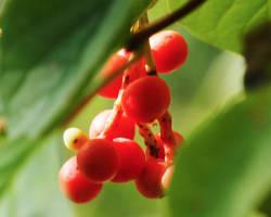La schizandra : plante adaptogène des Chinois